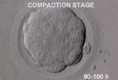 Prawidłowy zarodek w stadium kompaktacji